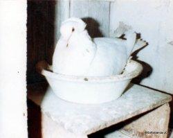 Femelle adulte, sottobanca blanc