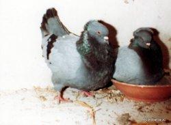 Couple reproducteur sottobanca bleu