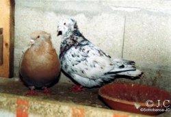 sottobanca - couple de travail; mâle arlequin corro x femelle crème