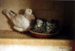 sottobanca - couple arlequin corro. la femelle est une diluée -(STF)-