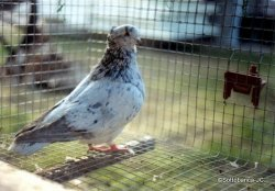 sottobanca - femelle arlequin corro