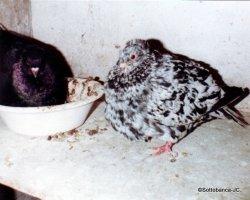 Sottobanca- couple de travail, mâle arlequin néro x femelle noire