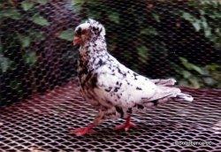 Sottobanca- mâle arlequins néro