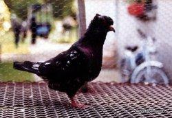 Sottobanca- mâle arlequin néro avec un fond noir