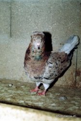 sottobanca- femelle adulte arlequin sauri