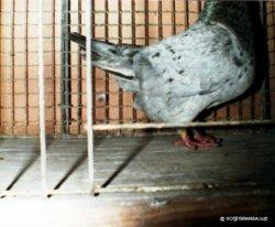 Détail du manteau d'une femelle adulte arlequin solfanino - éleveur jean