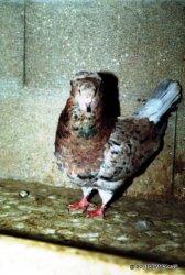 Femelle adulte arlequin sauri-1ere génération à coquille-éleveur Jean