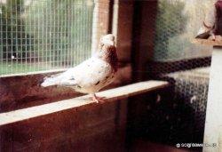 Sottobanca arlequin SAURI -jeune mâle- éleveur jean