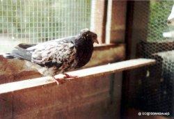 Sottobanca arlequin SAURI-mâle adulte- éleveur jean