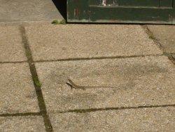 Les lézards ont colonisé le jardin