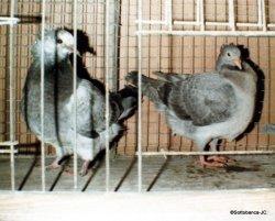 Sottobanca gris- jeunes femelles