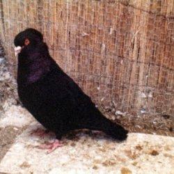Sottobanca noir - mâle adulte